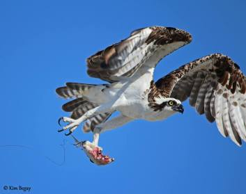 Osprey with fish and fishing line