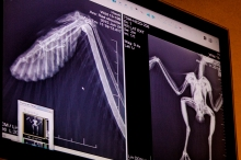 Red Shouldered Hawk Wing XRay