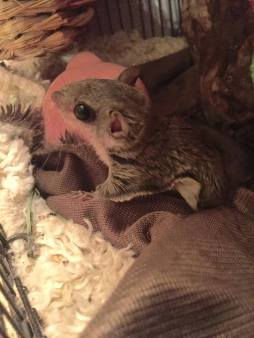 Southern Flying Squirrel ready for release.