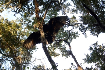 Vader the black vulture taking his first look at his new habitat.