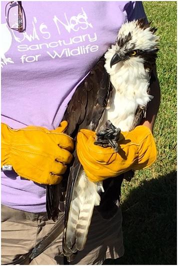 shot osprey