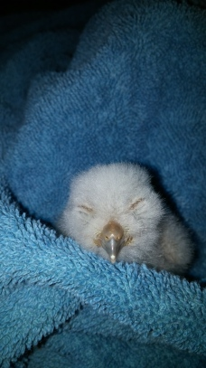 Day old screech owl waiting for mom at her vet appointment.