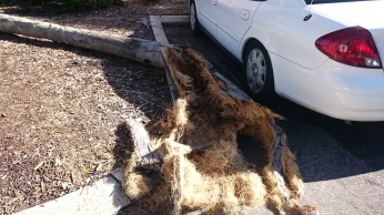 Tree after baby was moved and trunk was carefully broken over to save mom.