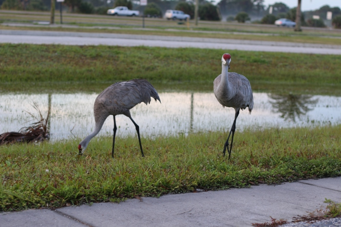 Pair of Sandhill Cranes foraging near a busy roadway.