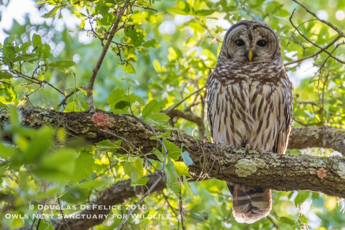 Barred Owl Re-Nest 4-8-16