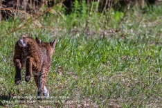 April 8, 2016 : Release of a Bobcat, that was rescued by Owl's Nest Sanctuary for Wildlife, and treated after being hit by a car at Busch Gardens in Tampa Bay. (Douglas DeFelice/Owl's Nest Sanctuary for Wildlife)