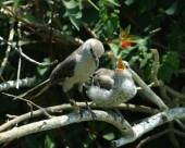 FledglingMockingbird
