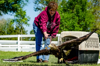 ODESSA, FLORIDA - MARCH 15: Release of a Bald Eagle, that was rescued from Lake Panasoffkee landfill in Odessa, Florida (Photo by Douglas DeFelice/Owl's Nest Sanctuary for Wildlife)