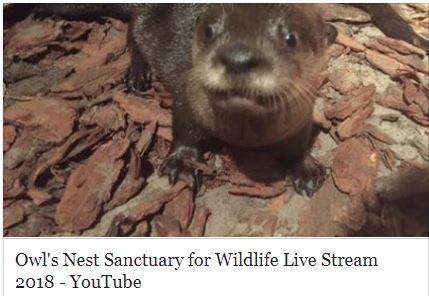 UTube Live Stream River Otters 2018