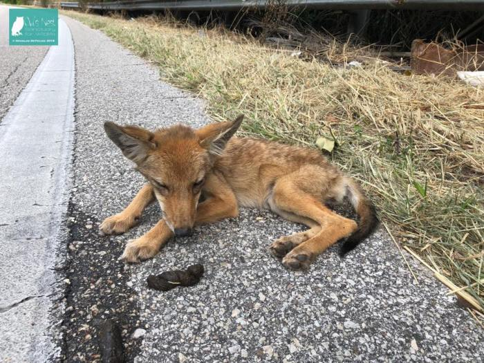 Coyote Pup Abana 1