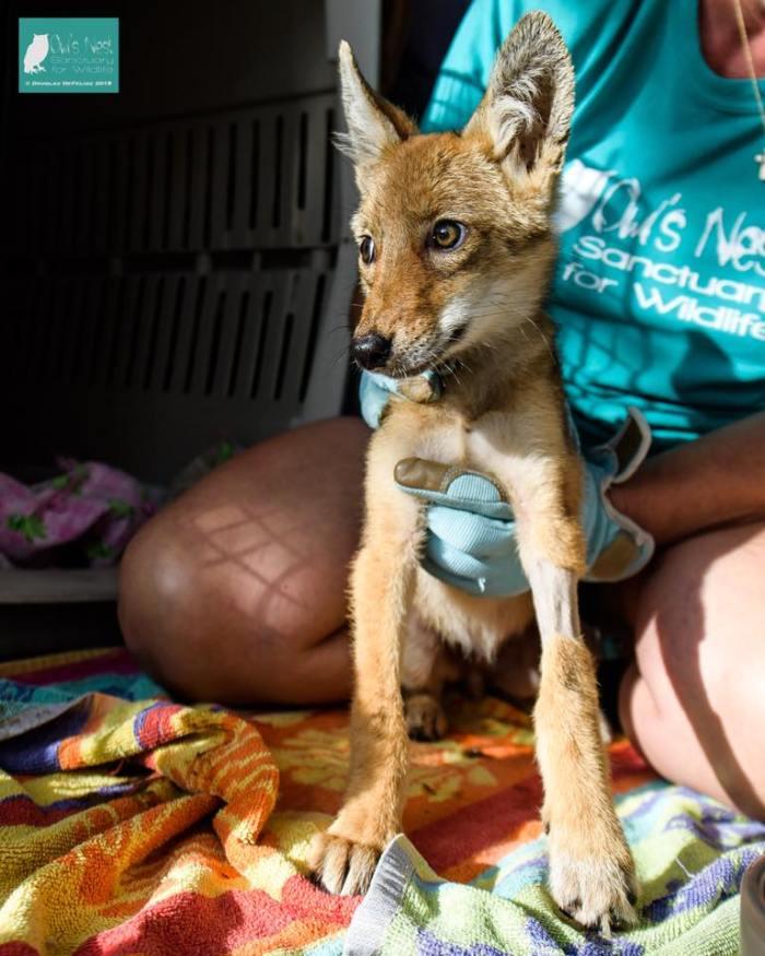 Coyote Pup Abana 2