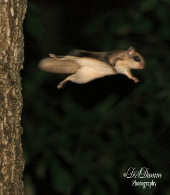 Flying Squirrel gliding through the air