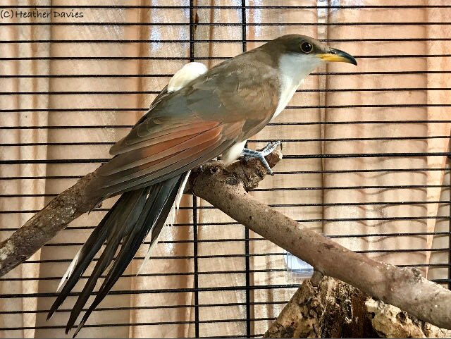 Yellow Billed Cuckoo Heather 4