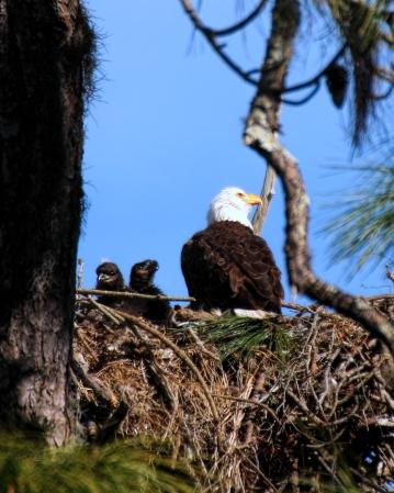 IMG_7918 p5 Eagle 2 chicks