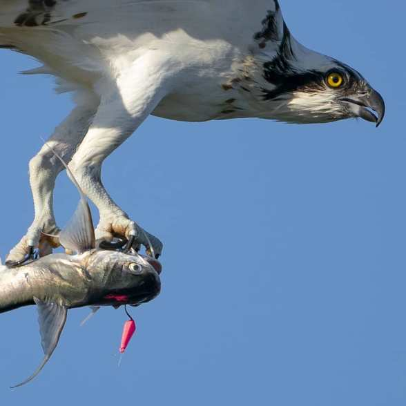 mark smith photography_osprey with sailcat hooked