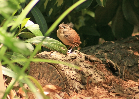 Fledgling Carolina Wren on ground, not to worry as parents were nearby
